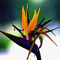 Bird Of Paradise Flower - Square by Susanne Van Hulst