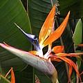 Bird Of Paradise Flowers by Kim Bemis