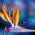 Bird Of Paradise by Gunter Nezhoda