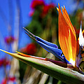 Bird Of Paradise Open For All To See by Jerry Cowart