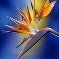 Bird Of Paradise by Kirk Ellison