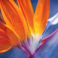 Bird Of Paradise - Strelitzia Reginae - Crane Flower Maui Hawaii by Sharon Mau