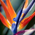 Bird Of Paradise - Strelitzia Reginae  by Sharon Mau