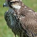 Bird Of Prey by Harvey Scothon