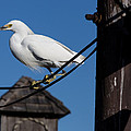 Bird On A Wire by John Daly