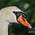 Bird - Swan - Mute Swan Close Up by Paul Ward