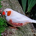 Male Zebra Finch by Lena Photo Art