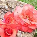 Birdbath Roses by Tammy Garner