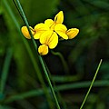 Bird's-foot Trefoil by Steve Harrington