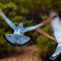 Birds In Flight 030515ab by Edward Dobosh
