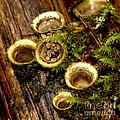 Birds Nest Fungi by Sharon Talson