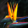 Birds Of Paradise by Debbie Nobile