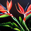 Birds Of Paradise by Dominica Alcantara