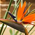 Birds Of Paradise by Heather Roper