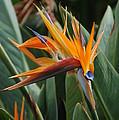 Birds Of Paradise by Mark Thompson