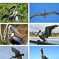 Birds - Pelicans - Boxed Cards by Laurel Talabere