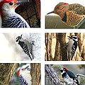 Birds - Woodpeckers - Boxed Cards by Laurel Talabere