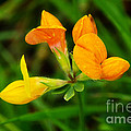 Birdsfoot Trefoil by Susie Peek