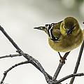 Birdy Birdy Goldfinch by LeeAnn McLaneGoetz McLaneGoetzStudioLLCcom