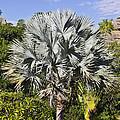 Bismarck Palm  Bismarckia Nobilis by Liz Leyden
