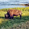 Bison 4 by Dawn Eshelman