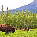 Bison Along Alaska Highway In British Columbia-canada by Ruth Hager
