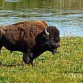 Bison Along The Yellowstone by Stuart Gordon
