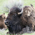 Bison And Birds by Deby Dixon