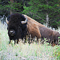 Bison At Rest by Raymond J Deuso