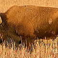 Bison At The Elk Ranch In Grand Teton National Park by Fred Stearns