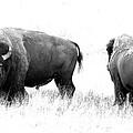 Bison by Athena Mckinzie