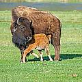 Bison Baby And Mom by Elijah Weber