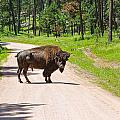 Bison Blocking The Road by John M Bailey