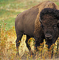 Bison Buffalo by National Parks Service