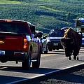 Bison Bull Standoff by Walt Sterneman