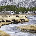 Bison By The Madison by Carolyn Fox