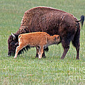 Bison Calf Having Breakfast In  Yellowstone National Park by Fred Stearns