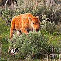 Bison Calf Scratching Itch In Yellowstone National Park by Fred Stearns