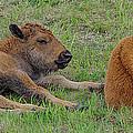 Bison Calves  by Gary O'Boyle