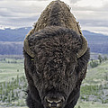 Bison by Christopher Rok