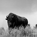 Bison Cow On An Overlook In Yellowstone National Park Black And White by Catherine Sherman