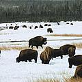 Bison Cows Browsing by Kae Cheatham