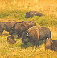Bison Family by Greg Norrell