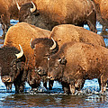 Bison Family In The Lamar River In Yellowstone National Park by Fred Stearns