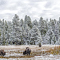 Bison Feeding In The Snow by Paul W Sharpe Aka Wizard of Wonders