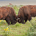 Bison Fight In Grand Teton National Park by Fred Stearns
