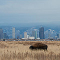 Bison Graze With Denver Colorado In The Background by Tony Hake