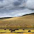 Bison Grazing Along The Yellowstone River In Hayden Valley by Ed  Riche