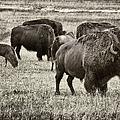 Bison Herd Bw by Belinda Greb