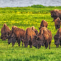 Bison Herd Grazing In Lamar Valley by Martin Belan